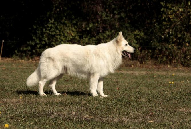 Doom - Berger Blanc Suisse - White suiss shepherd